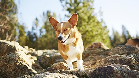 corgi-background