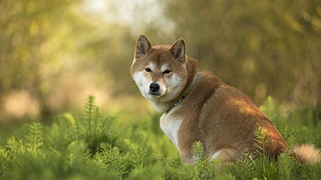 shiba-inu-background