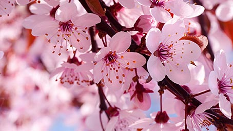 cherry blossom theme for windows 10 8 7