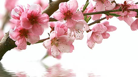 sakura-tree-background