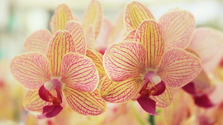 orchid-background