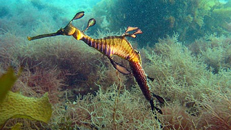 seahorse-background
