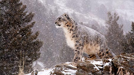 snow-leopard-background