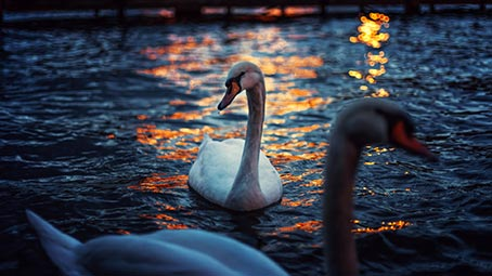 swan-background
