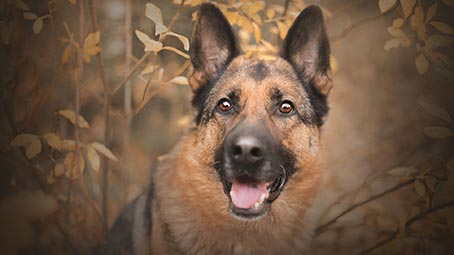 german-shepherd-background