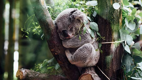koala-background