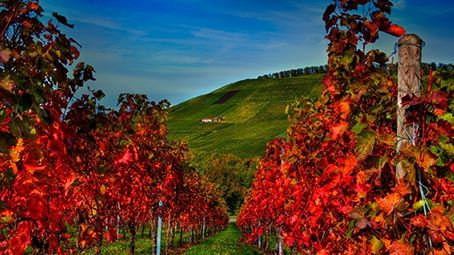 vineyard-background
