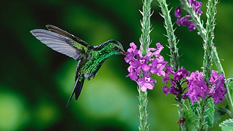hummingbird-background