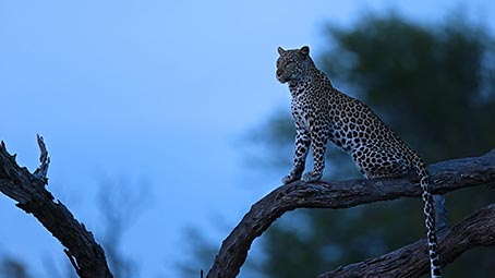 leopard-background