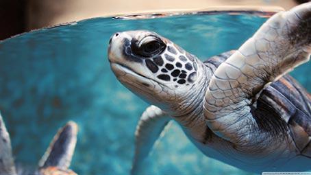 Sea Turtles Theme For Windows 10 8 7