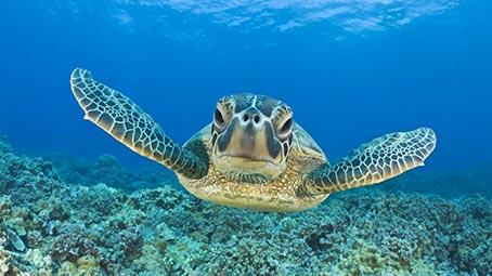 Sea Turtle Background on Windows 10 Color Scheme