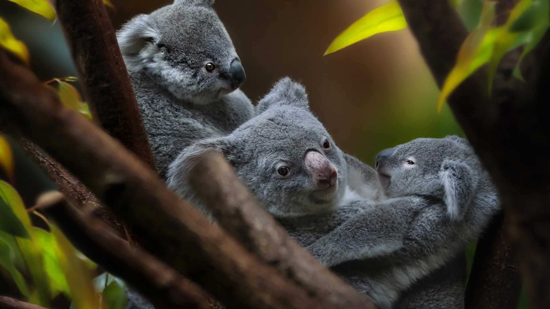 Koala Theme For Windows 10 8 7